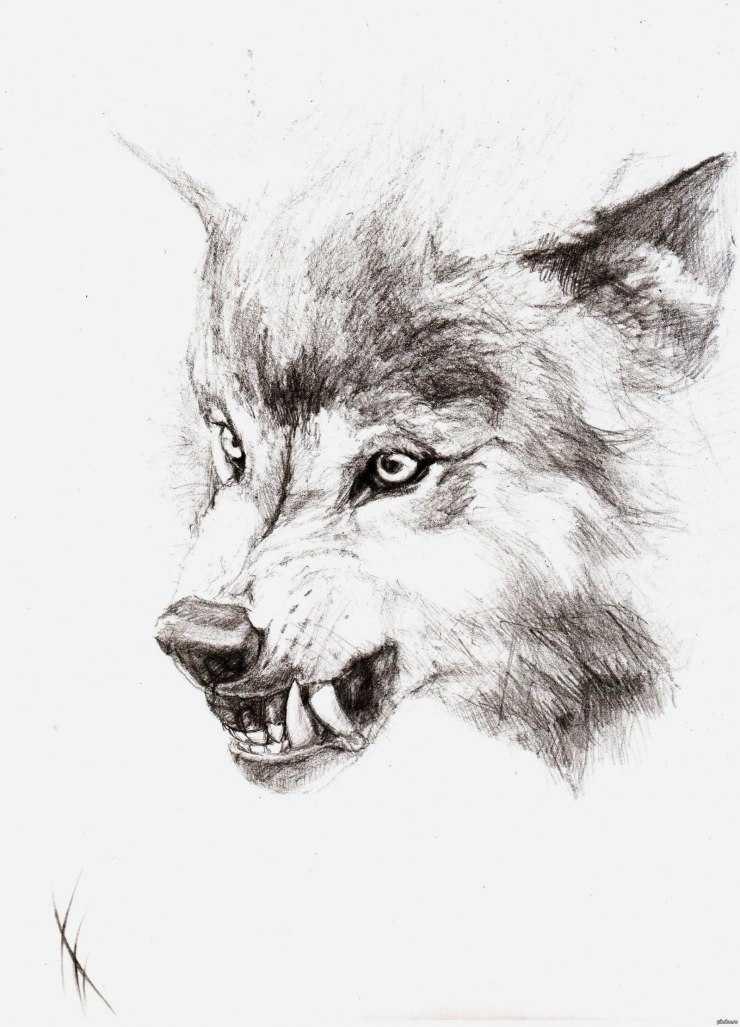 Волк для срисовки - 125 фото лучших идей, советы художников и обзор самых красивых картинок волков
